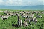Tansania, Ngorongoro Crater, Herde Zebras (Equus Burchelli)