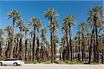 Auto fahren, vorbei an Date Palm Tree farm