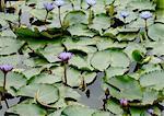 Fleurs de lis d'eau