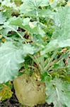 Turnip in soil
