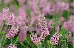 Blooming heaths