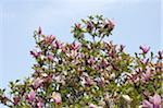 Blossoming tree under blue sky