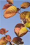 Feuilles rouges d'un arbre