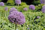 Ornamental Allium blossom