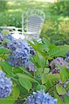 Blooming Hydrangea in garden