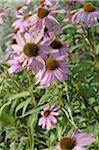 Blooming purple cornflower