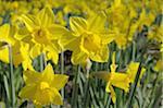 Blooming Wild Daffodils