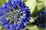 Primevère fleur