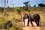 Sri Lankan Elephant Crossing Road, Udawalawe National Park, Sri Lanka