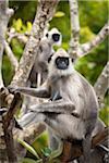 Langur Monkeys in Tree, Kiri Vehera, Kataragama, Sri Lanka