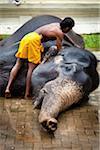Baignade éléphants avant Perahera Festival, Kandy, Sri Lanka