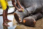 Man Washing Elephant's Feet before Perahera Festival, Kandy, Sri Lanka