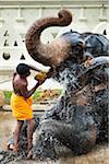 Man Washing Elephant before Perahera Festival, Kandy, Sri Lanka