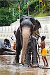 Bathing Elephants before Perahera Festival, Kandy, Sri Lanka
