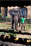 Homme éléphant et huile de lampe offrandes au Temple de la dent, Festival de Perehera de Kandy, Kandy, Sri Lanka
