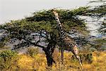 GIRAFFE Giraffa camelopardalis REACHING TOP OF TREE IN KENYA