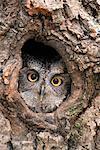 WESTERN SCREECH OWL Otus kennicotti regardant la caméra hors trou IN TREE