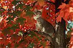 1990s GRAY TABBY CAT IN AUTUMN TREE