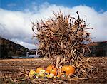 VERMONT FARM CORN FIELD WITH PUMPKINS