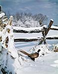 des années 1990 commune faisan Phasianus colchicus coq par SNOWY SPLIT clôture paysage d'hiver
