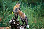 RED FOX Vulpes vulpes, STANDING ON LOG