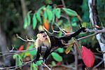 WHITE FACED CAPUCHIN MONKEY Cebus capucinus COSTA RICA
