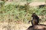 Singe, Parc National de Mana Pools (Zimbabwe)
