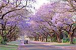 Country road and flowering Jacaranda trees, Pretoria, South Africa
