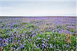 Bluebells, Skomer Island, Pembrokeshire Coast National Park, Pembrokeshire, Wales