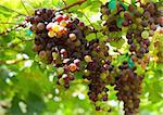 Red grape under the sunlight