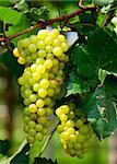 Green grape under the sunlight
