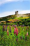 Garden lupin wildflowers near Signal Hill in Saint John's, Newfoundland
