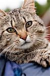 Close up of a striped cat