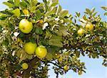 ripe green apples on an apple tree branch