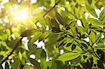 Morning sun shines through fresh leaves