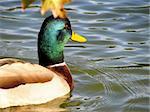 a close -up shot of mallard  Duck on the water