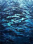 Fish shoal crowd rushing forward in blue sea water