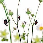 Asian lady beetles, or Japanese ladybug or the Harlequin ladybird, Harmonia axyridis, on plants in front of white background