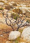 Dry Tree in Sand Hills of Samaria, Israel