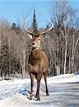 Female red deer in the winter