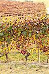 Italian vineyard of Barbera during autumn season