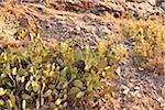 Cactus, Riomaggiore, Cinque Terre, Province de La Spezia, Ligurie, Italie