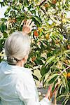 Femme senior cueillette orange d'arbre, vue arrière