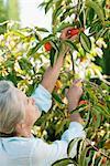 Femme senior cueillette orange sur l'arbre