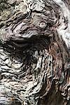 Souche d'arbre noueux, très gros plan