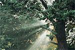Sunbeams shining through tree branches