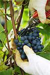 Raisins coupe personne hors vigne, vue recadrée de mains