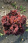 Lollo rosso lettuce growing in vegetable garden