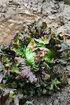 Red Batavia lettuce growing in vegetable garden