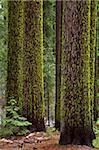Wolf lichen (Letharia vulpina), on Sugar Pines (Pinus lambertiana), Tuolumne Grove of Giant Sequoias, Yosemite National Park, UNESCO World Heritage Site, Sierra Nevada, California, United States of America, North America